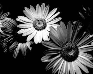 Daisies_by_LaMusePhotography